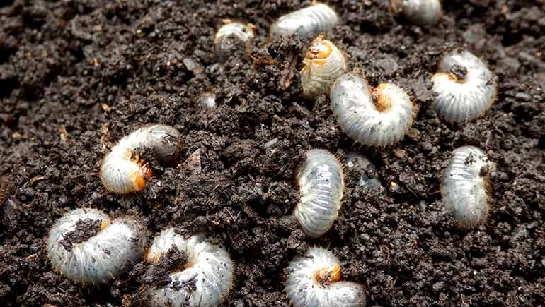 Grubs emerging from the soil in Des Moines, IA.