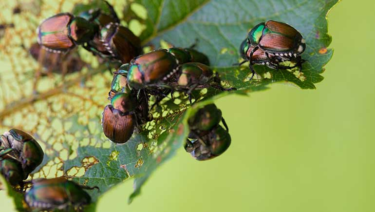 Japanese beetles eating the leaves on a tree in West Des Moines, IA.