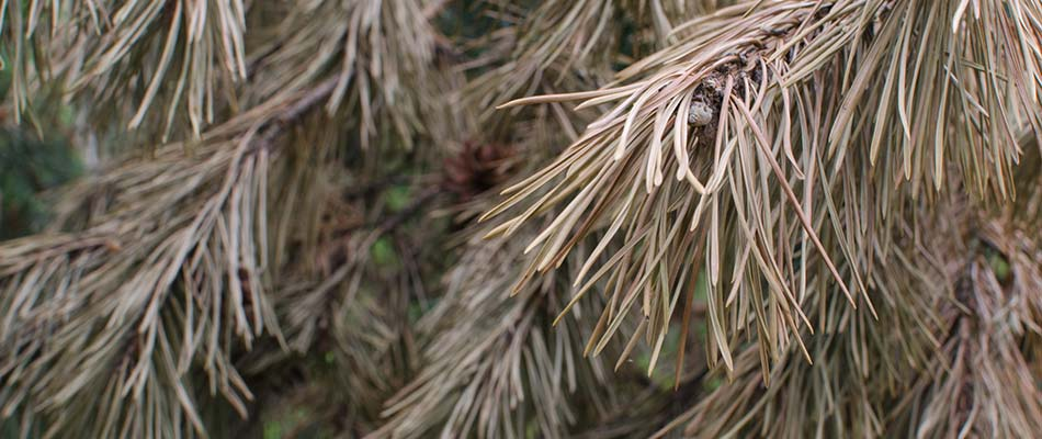 Pine wilt is a common disease in central Iowa areas like West Des Moines.