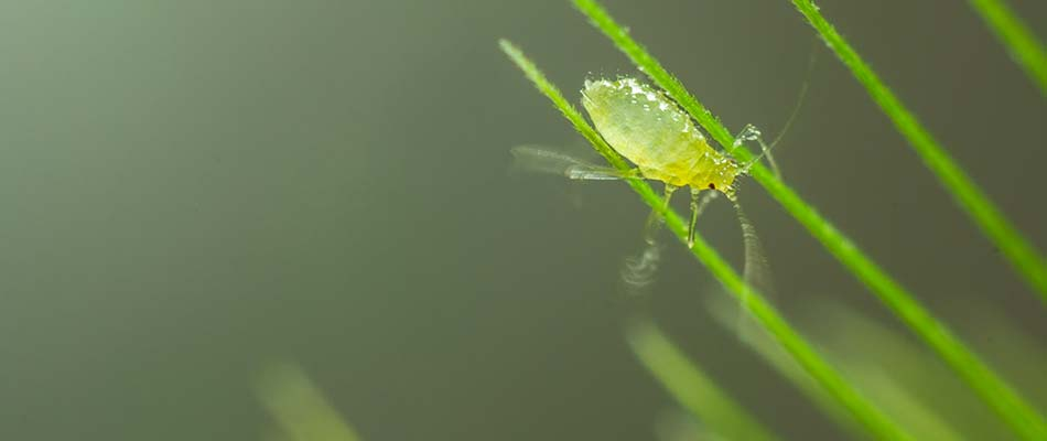 An aphid rests on grass on a Des Moines, IA property.