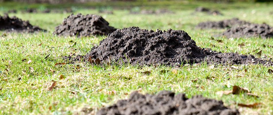 Piles of dirt on a lawn caused by moles in  West Des Moines, IA.