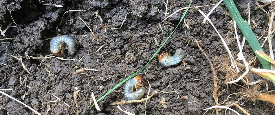 Grubs have infested the soil of this yard in West Des Moines, IA.
