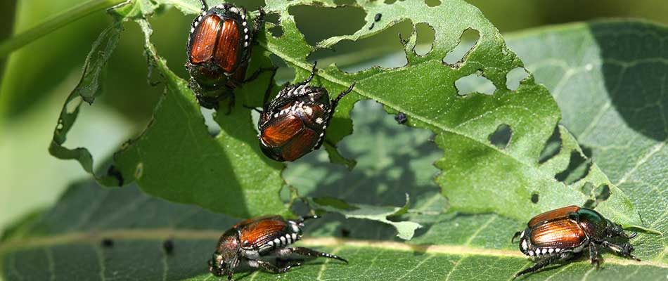 Japanese beetles eating a leaf on a plant in Des Moines, IA.