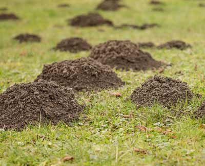 Moles and voles are a common problem for residential and commercial property owners in Ankeny.