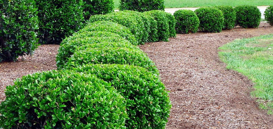 Hedge of shrubs recently trimmed in Des Moines, IA.